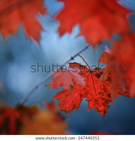 Red Autumn maple leaves close-up - stock photo