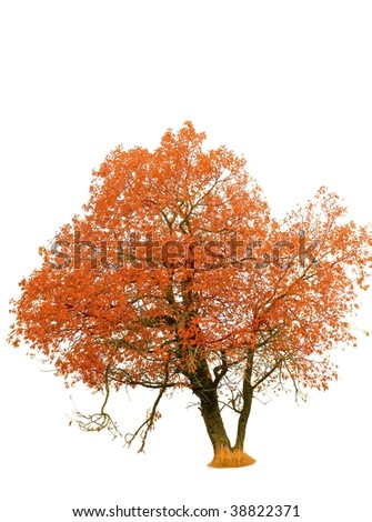 red autumn tree isolated on a white background