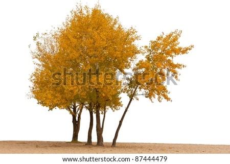 red autumn tree on a white background - stock photo