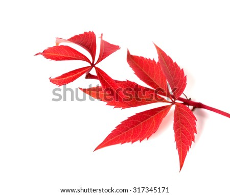 Red autumn twig of grapes leaves (Parthenocissus quinquefolia foliage). Isolated on white background. Selective focus. - stock photo