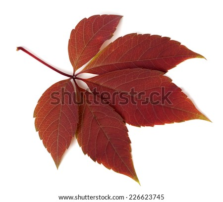 Red autumn virginia creeper leaf isolated on white background. Close-up view. - stock photo