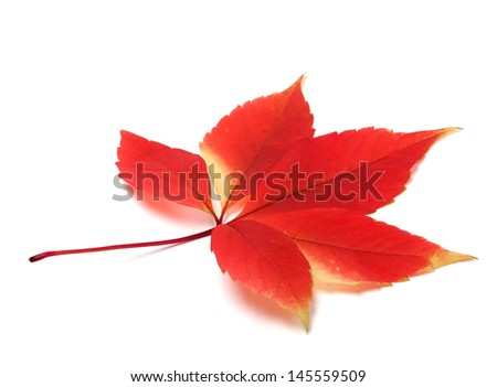 Red autumn virginia creeper leaves isolated on white background - stock photo