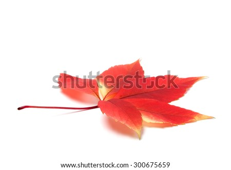 Red autumn virginia creeper leaves (Parthenocissus quinquefolia foliage). Isolated on white background with copy space - stock photo