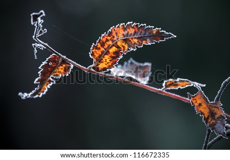 Red autumnal leaves with frost