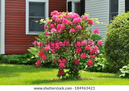 Red Azalea Bush in the Garden - stock photo