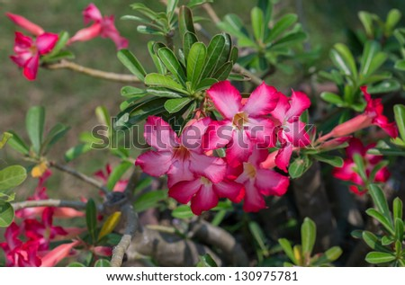 Red Azalea flowers of thailand - stock photo