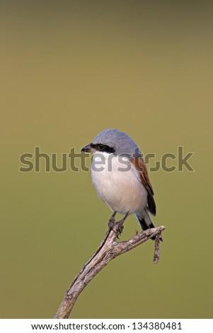 Red-backed Shrike - stock photo
