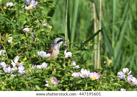 Red-backed shrike in a rose bush - stock photo