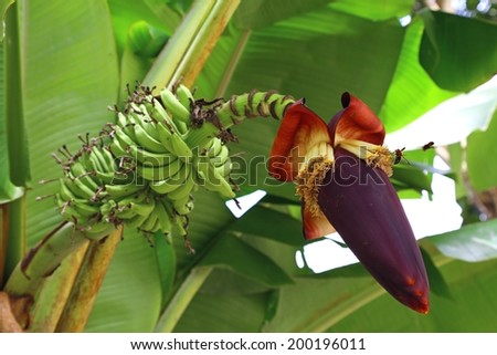 Red banana blossom see the small green bananas