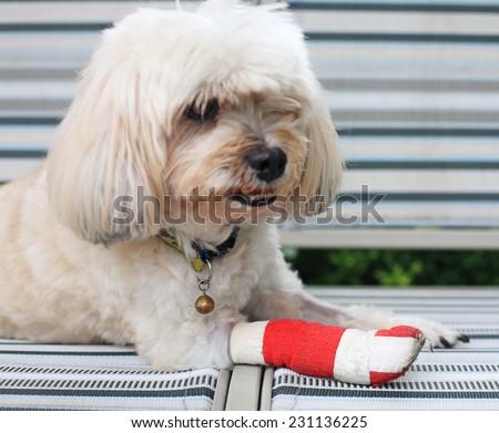 red bandage on front injured leg of Shih Tzu - stock photo