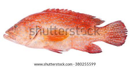 Red-banded grouper isolated on white background - stock photo