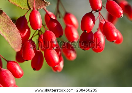 Red barberry berries on the tree - stock photo