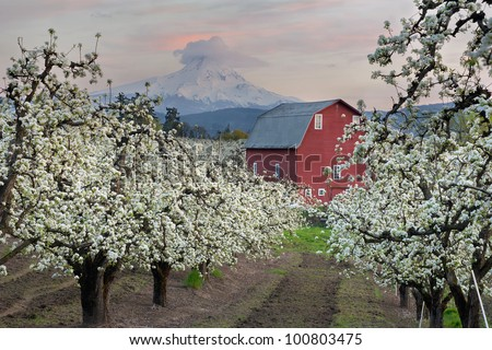 Red Barn in Pear Orchard in Hood River Oregon at Sunset - stock photo