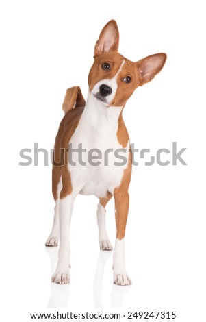 red basenji dog standing on white - stock photo