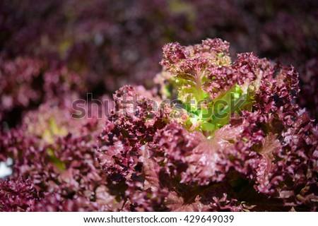 Red batavia vegetable in hydroponic farm - stock photo