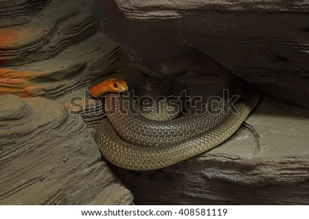 Red beaked snake (rhamphiophis rubropunctatus) in a zoo terrarium - stock photo