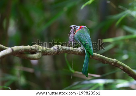 Red-bearded Bee-eater(Nyctyorni samictus)with flying tree lizard in nature