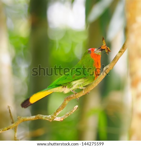 Red-bearded Bee-eater on the branch with food in mouth to feed its chicks in the hole nest, Nyctyornis amictus, bird