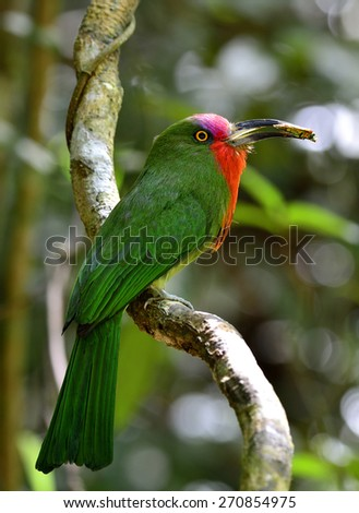 Red-bearded Bee-eater, the beautiful green with red beard bird perching on the tree with meal in his lips