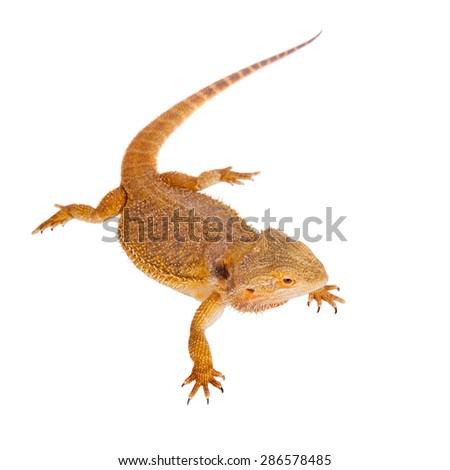 Red Bearded dragon, Pogona vitticeps, on white - stock photo