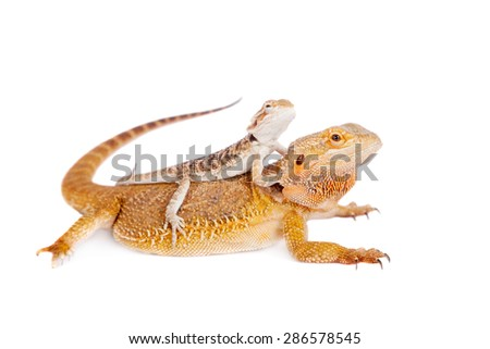 Red Bearded dragon with baby on her back - stock photo