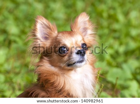 red beautiful chihuahua dog portrait close-up on natural green background - stock photo