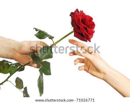 Red beautiful rose in female and man's hands