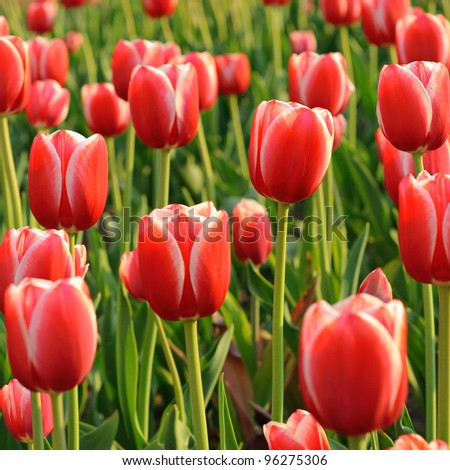 Red beautiful tulips field in spring time - stock photo