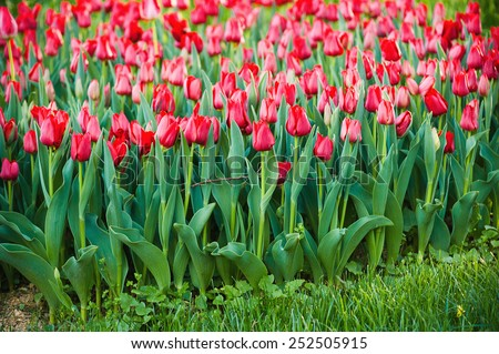 Red beautiful tulips field in spring time, floral background - stock photo