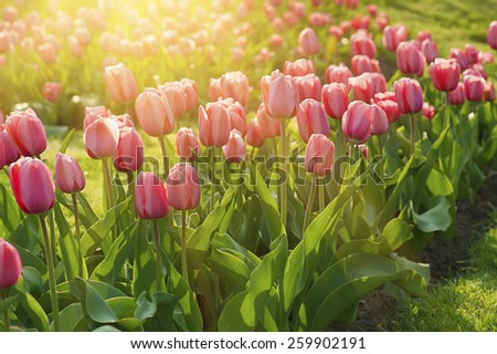 Red   beautiful tulips field in spring time with sunlight, floral background - stock photo