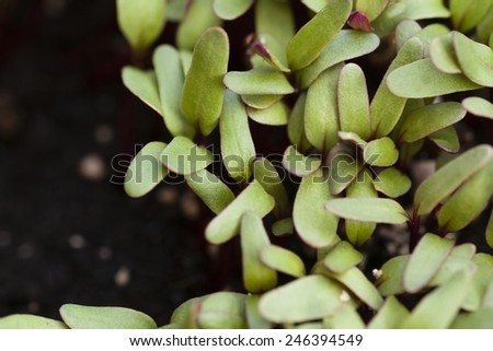 Red beet sprouts on a bed. Close up - stock photo