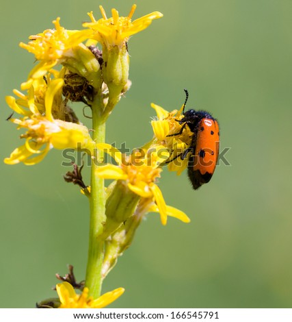 red beetle on yellow flower - stock photo