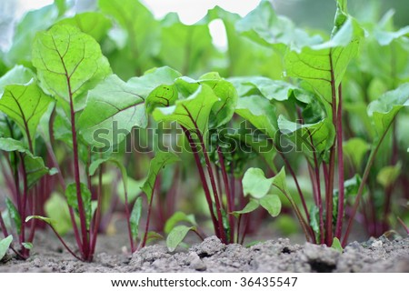 Red beets - stock photo