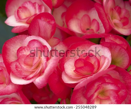 red begonia flowers closeup in the garden - stock photo