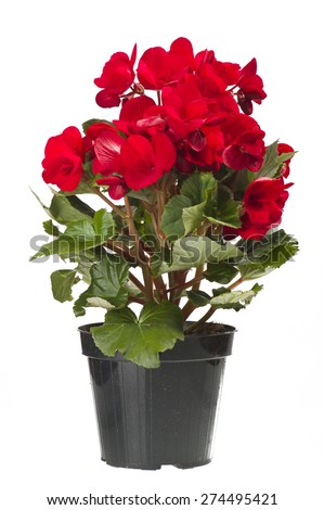 red begonia flowers closeup in the study - stock photo