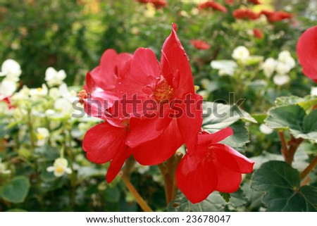 Red begonia is blossoming. - stock photo