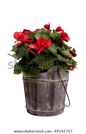Red Begonia Pot plant - stock photo