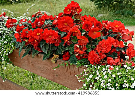 Red Begonia with  small white Petunia - stock photo