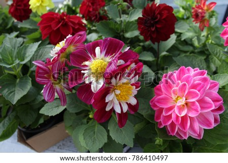 Red Begonia Wooden Knitted Baskets Colored Stock Photo Royalty Free