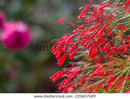 Red Bellflower (tube flower)