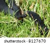 Red Bellied Black Snake native to Eastern Australia. A non-aggressive species which is fairly common and is identifiable by its bright red belly - stock photo