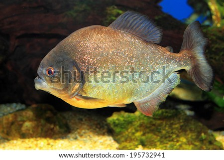 Red-bellied piranha (Pygocentrus nattereri)  - stock photo