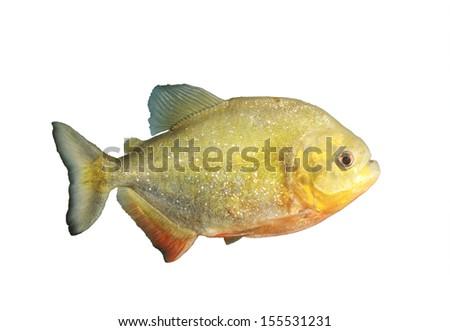Red Bellied Piranha (Pygocentrus Nattereri) isolated on white - stock photo