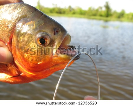 Red-bellied piranha, red piranha, Pygocentrus nattereri, fished in a tributary of the Amazon River, Brazil - stock photo