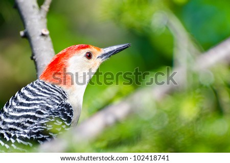 Red-Bellied Woodpecker Close Up - stock photo