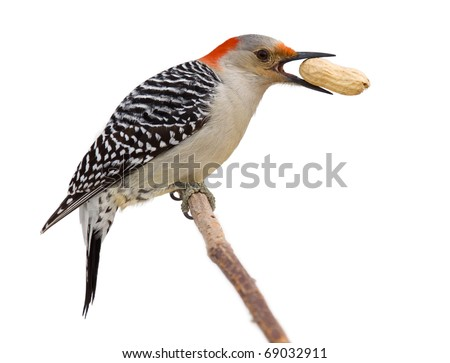 red bellied woodpecker holds a tasty treat in its beak. profile of woodpecker on a branch eating a peanut; isolated on a white background - stock photo