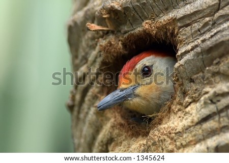 red bellied woodpecker looks out from hole in palm tree