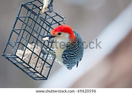 Red bellied woodpecker (Melanerpes carolinus) eating seeds from winter feeder - stock photo