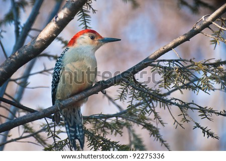 Red-Bellied Woodpecker Perched in Tree