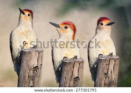 Red Bellied Woodpecker Trio - stock photo